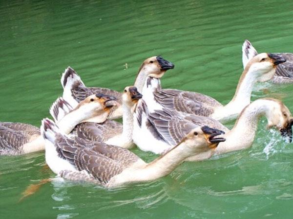 桃园散养鹅