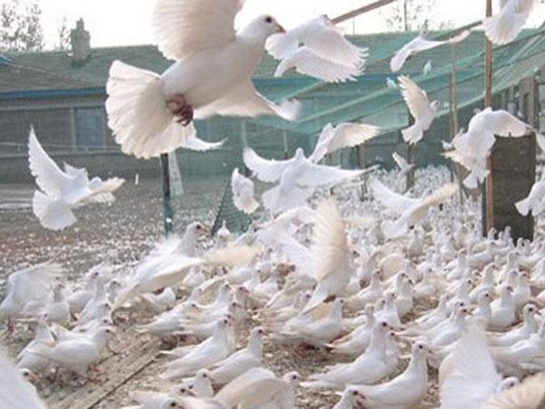 桃园散养鸽子