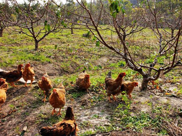 桃园散养鸡