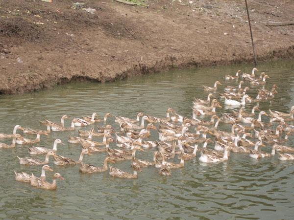 桃园散养鸭