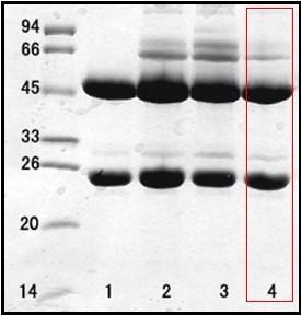 幽門螺旋桿菌(Helicobacter Pylor)單克隆抗體