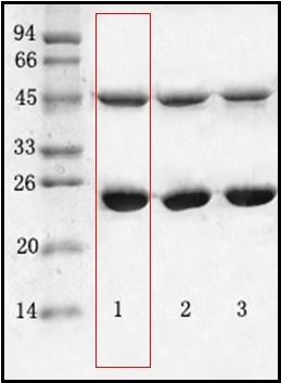 金黃色葡萄球菌(Staphylococcus aureus)單克隆抗體
