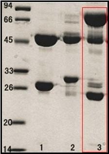 出血性大腸桿菌O157:H7 (E.coli O157:H7)單克隆抗體