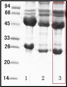 單核細胞增生李斯特菌(Listeria monocytogenes)單克隆抗體