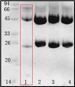鮑氏志賀氏菌(Shigella boydii) 單克隆抗體