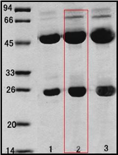 乙型溶血性链球菌(Streptococcus Hemolyticsβ)单克隆抗体
