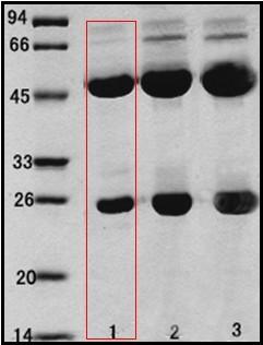 乙型溶血性鏈球菌(Streptococcus Hemolyticsβ)單克隆抗體