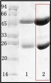 副溶血性弧菌(Vibrio parahaemolyticus)單克隆抗體