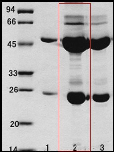 沙門氏菌(Salmonella spp.)單克隆抗體