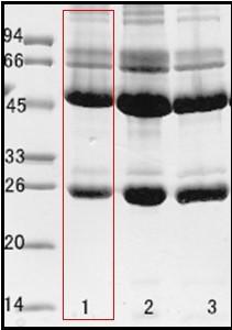 空腸彎曲菌(Campylobacter jejuni enteritis) 單克隆抗體