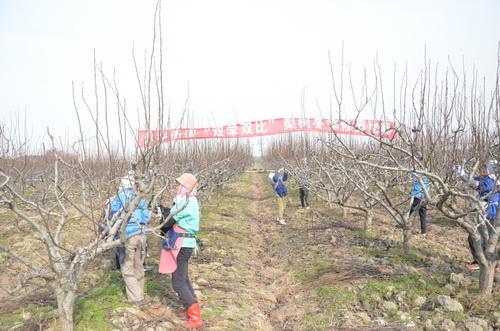 梨树冬季修剪比赛