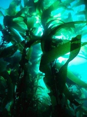 美研究显示海藻糖有助治疗动脉粥样硬化