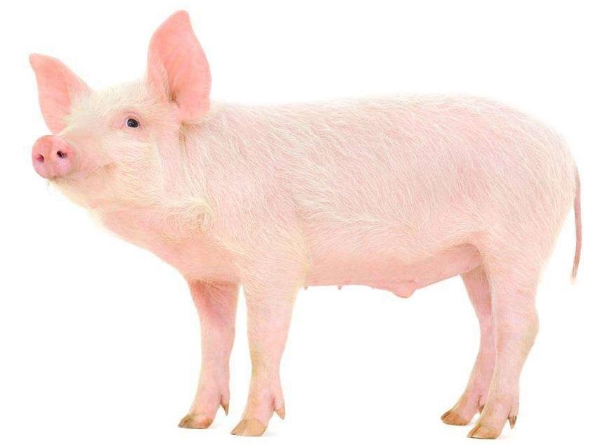 关于猪肉质量安全的科普解读