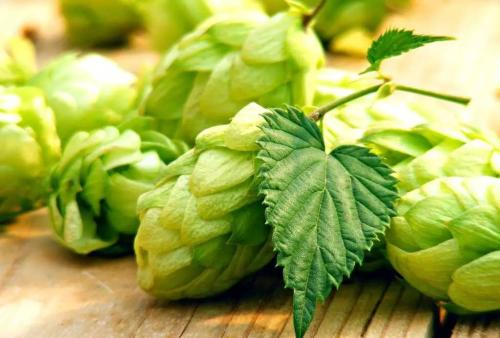 生物学家:啤酒花有助对抗肥胖和高血压